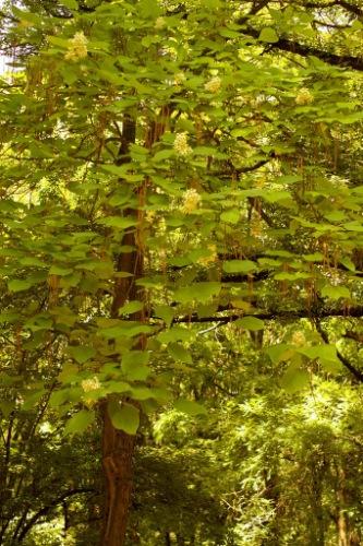 Дерева семейное дерево катальпа